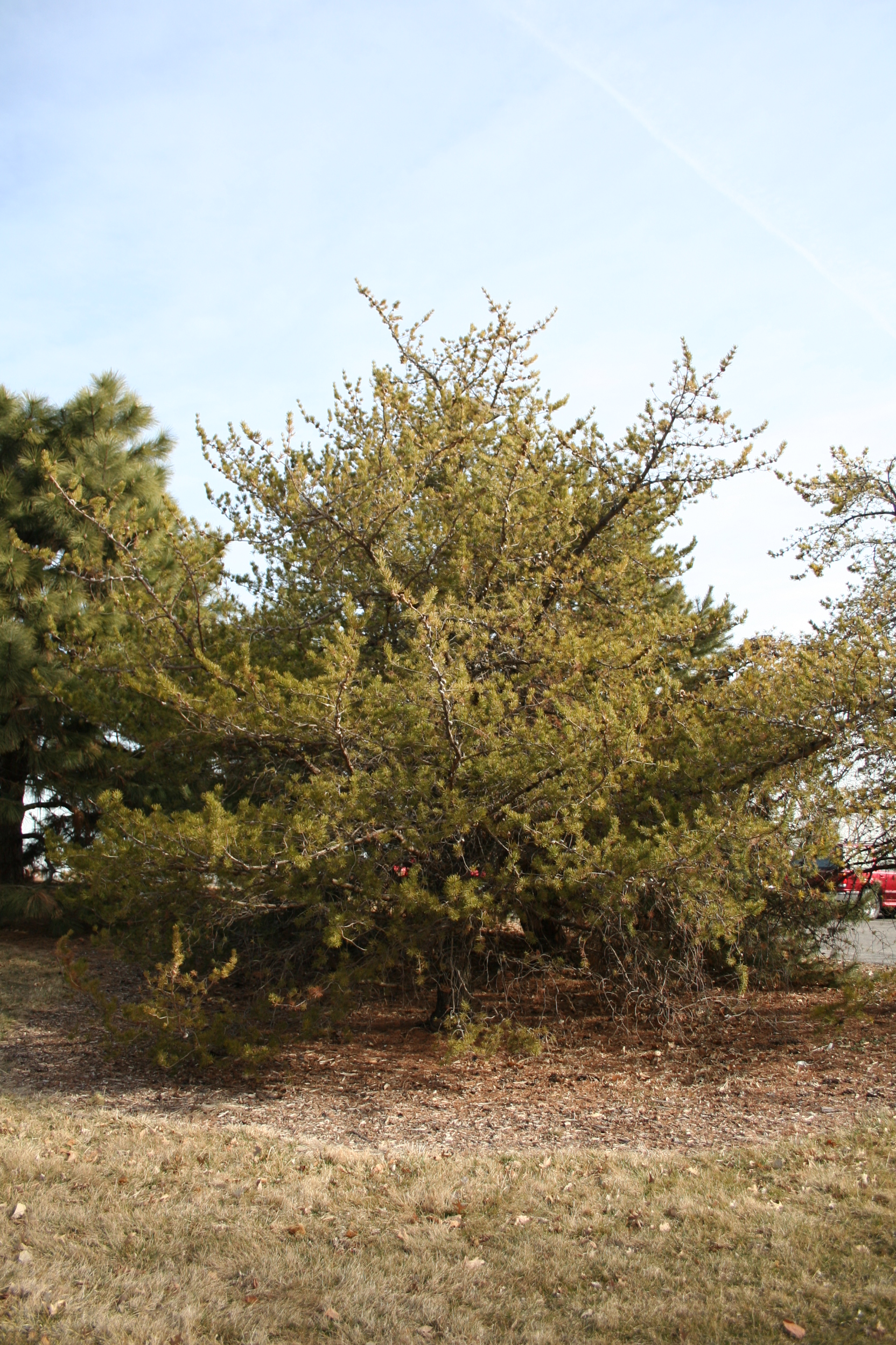 small jack pine