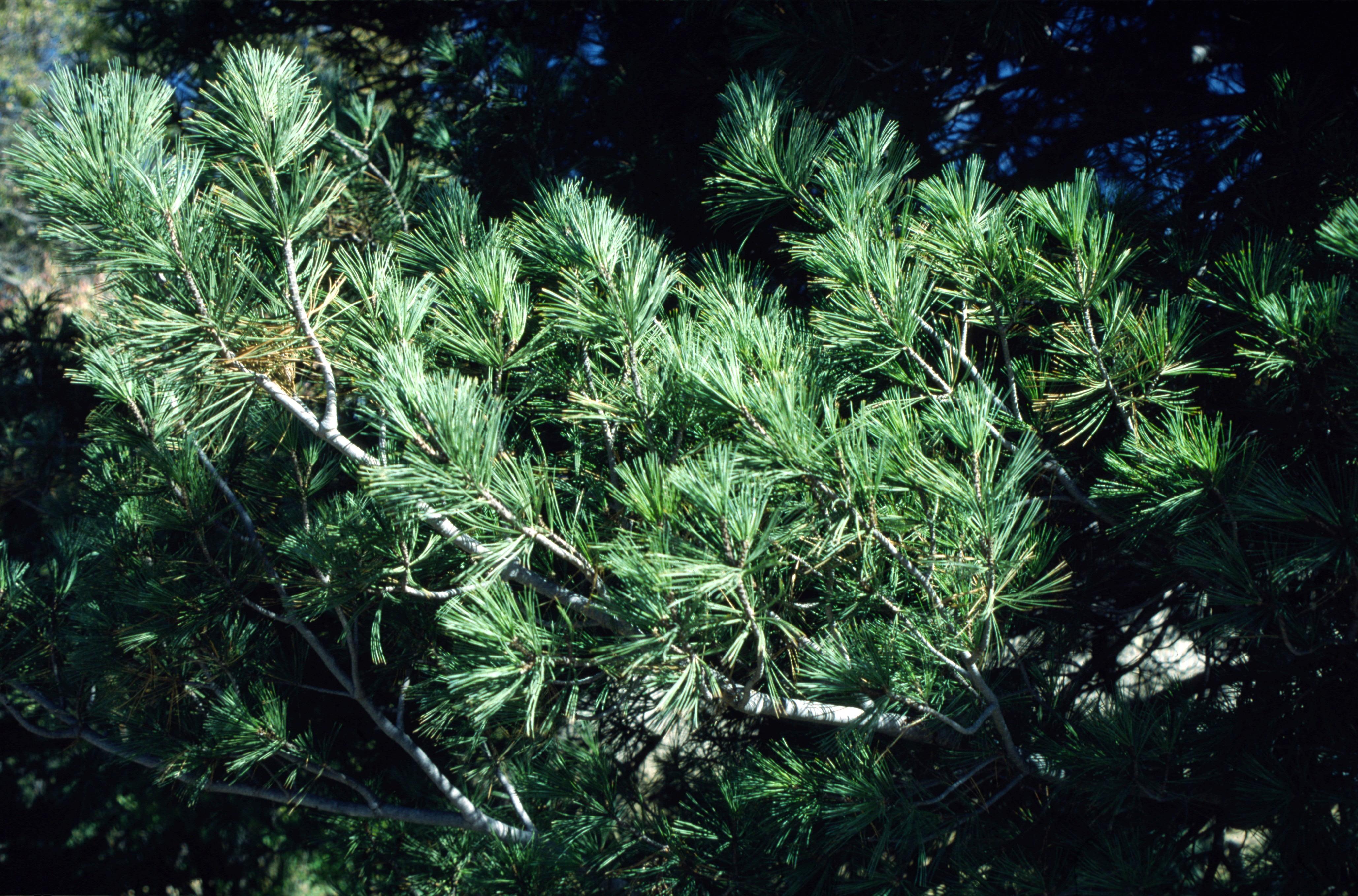 Limber Pine closeup.