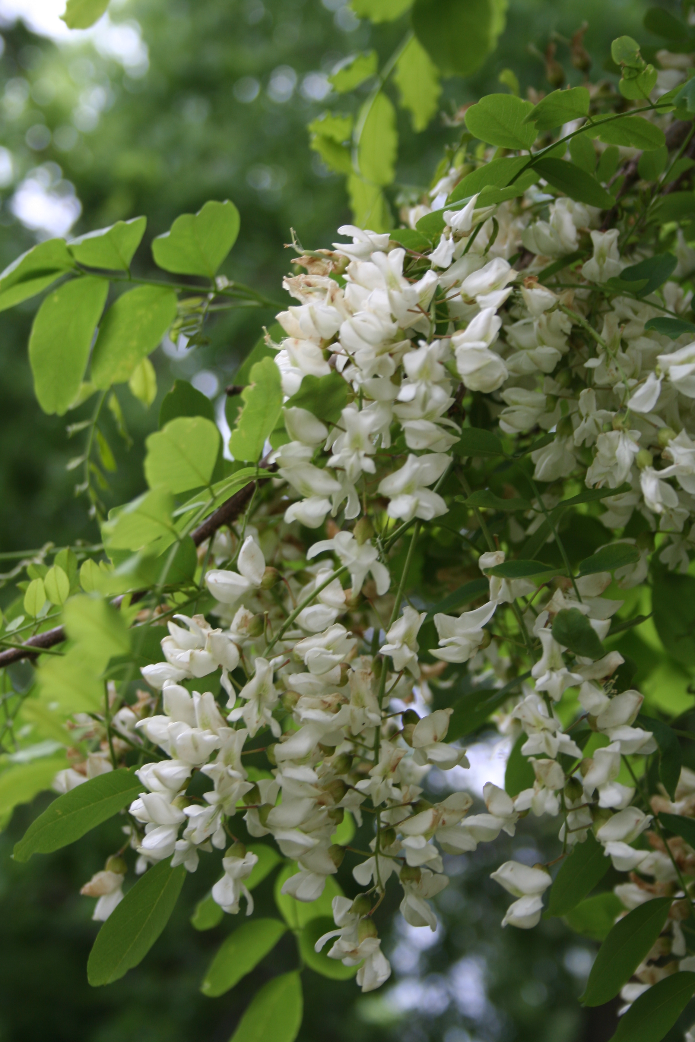 Black Locust flowering
