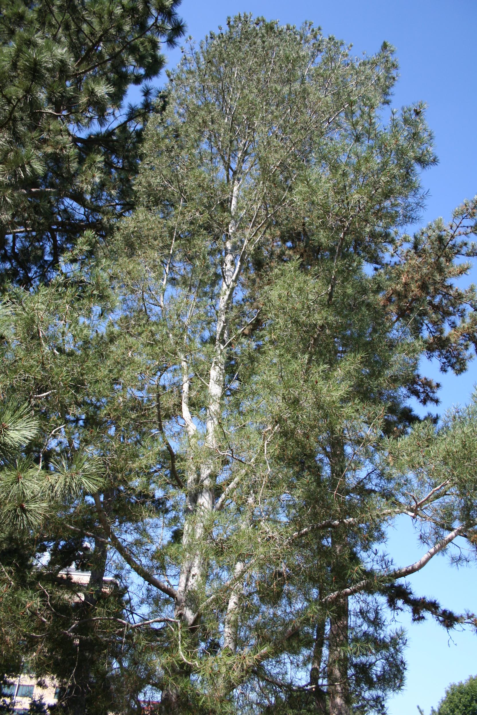 pine tree's canopy