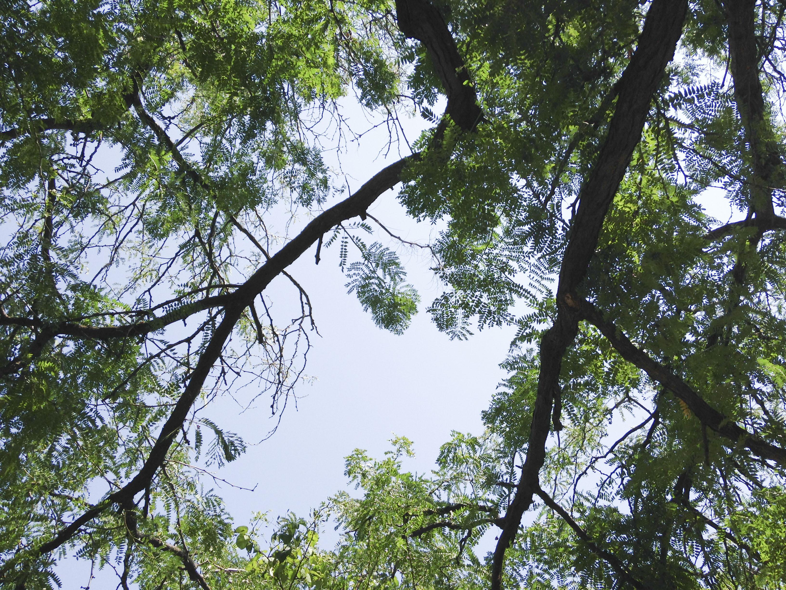 Honeylocust canopy.