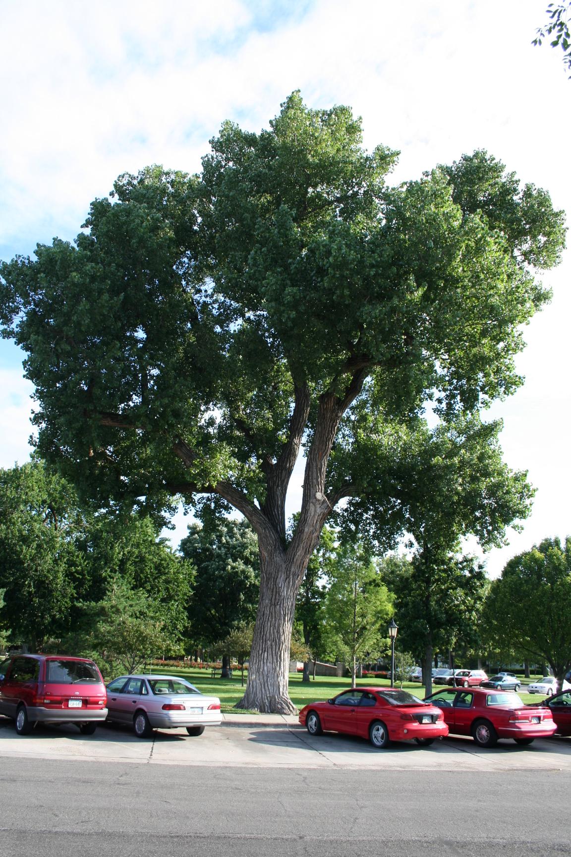 Cottonwood in Wichita, Kansas