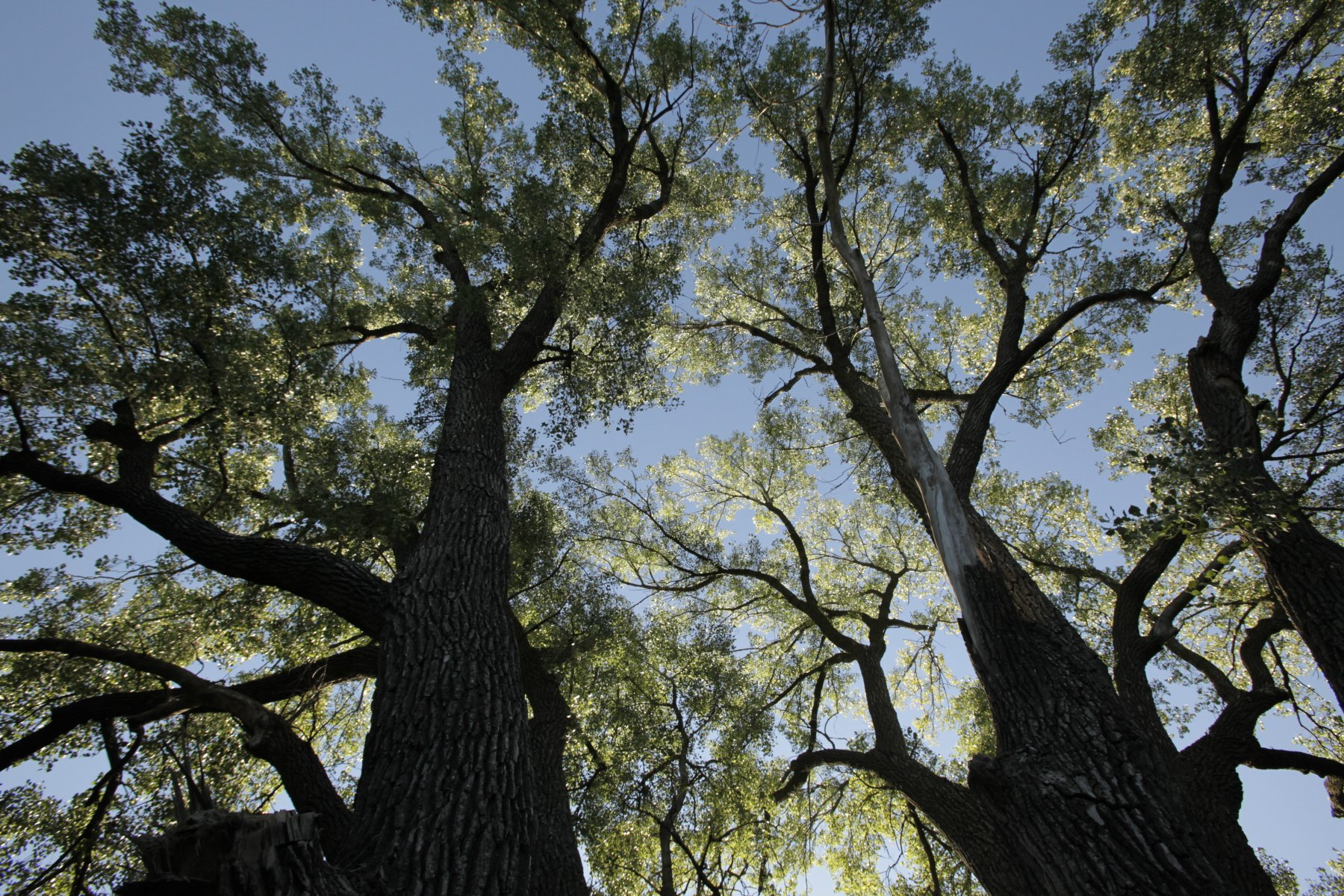 In 2013, this eastern cottonwood near Beatrice was recognized as largest of its kind in the United States.