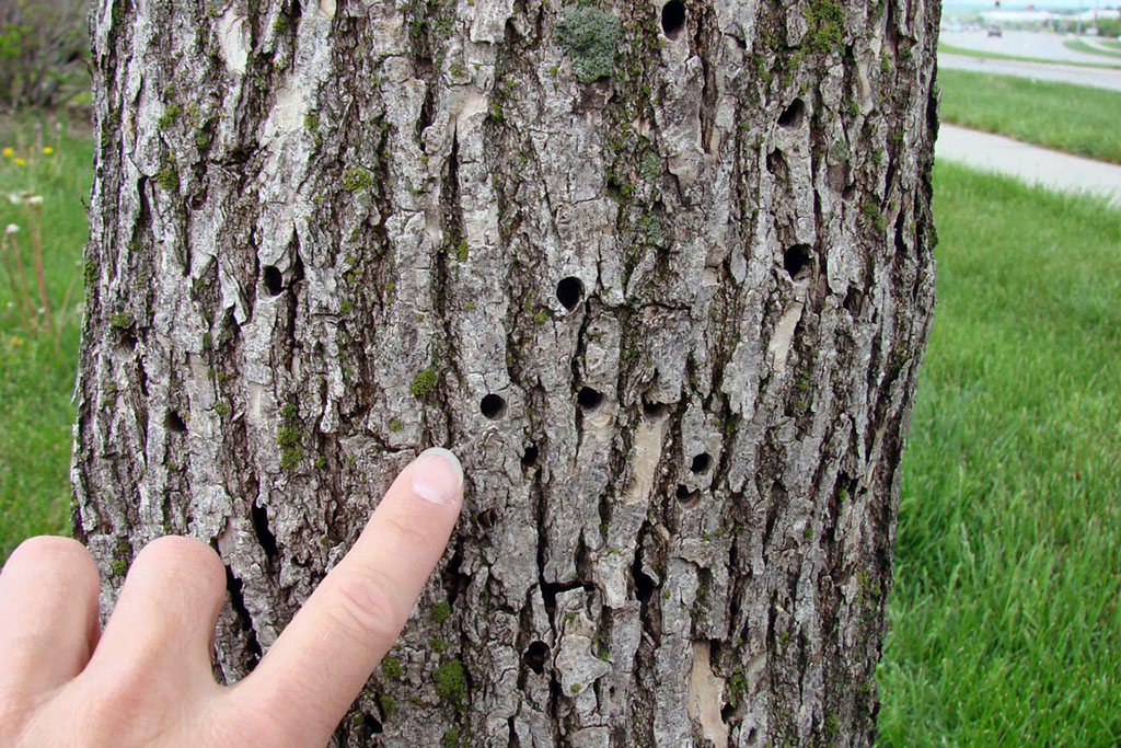 Frequently Asked Questions About Emerald Ash Borer | Nebraska ...