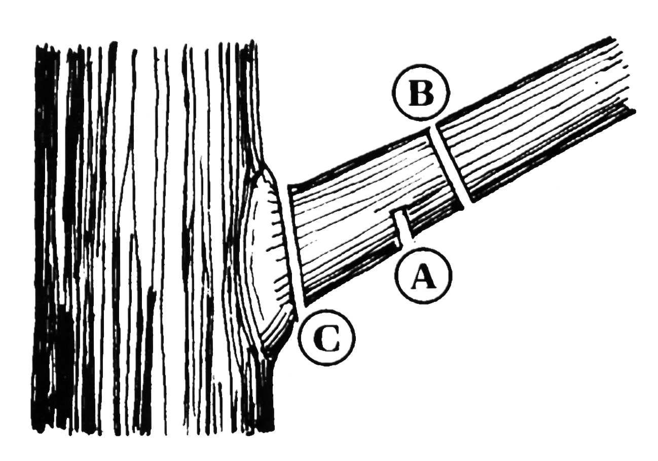Diagram of how to prune a tree.