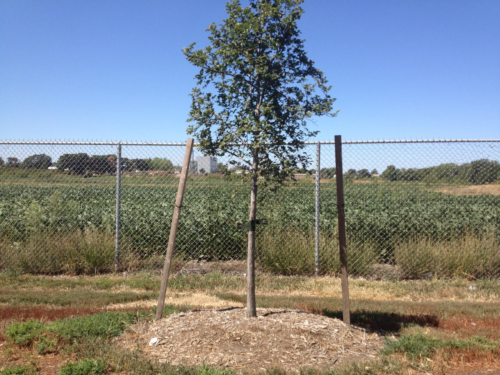 Newly planted tree with support staking.
