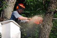 Person chainsawing a tree.