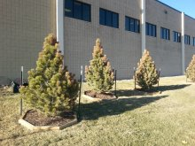 Tips of pine trees are damaged due to freeze damage from the previous season.