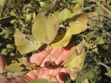 Leaves will appear scorched on a drought-stricken tree.