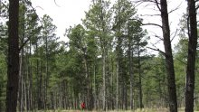 Photo of forest filled with Ponderosa Pines