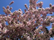 Photo of a flowering crabapple tree