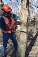 Worker in safety equipment is chainsawing a tree.