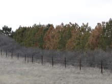 Photo of a pine windbreak, north of Lisco, Nebraska.