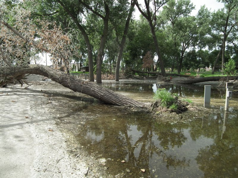 Cottonwood tree tipped over after prolonged flooding event in south sioux city.