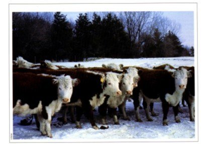 Photo of livestock gathered near a windbreak