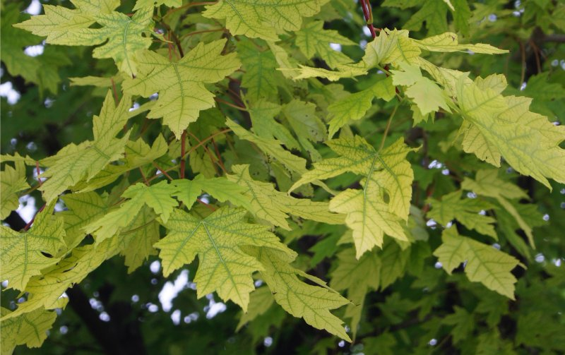 Photo of tree with Chlorosis.