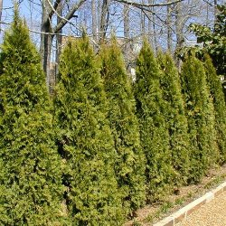 Eastern arborvitae makes a nice hedgerow!