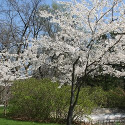 American plum tree in full bloom.