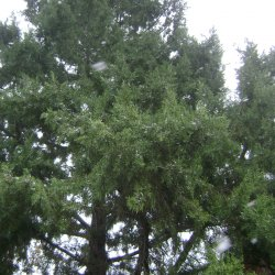 Eastern Redcedar tree.