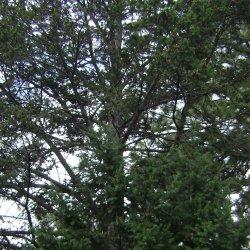 Photograph of a douglas fir tree.