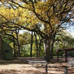 Bur Oak tree.