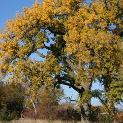 Eastern cottonwood tree.