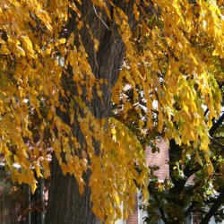 Kentucky Coffeetree has nice golden leaves in the fall.