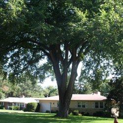 American elm tree shades house.