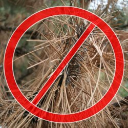 Scotch pine is no longer recommended for planting in Nebraska.