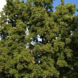 Black walnut providing excellent shade over North Platte home.