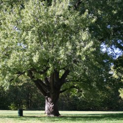 Silver Maple tree.