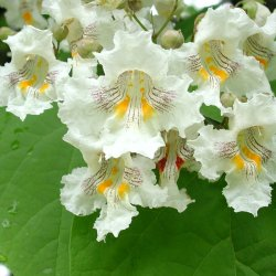 Northern Catalpa white flowers.