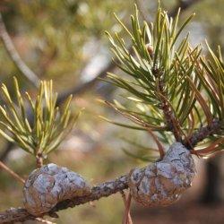 Jack Pine pine cone.