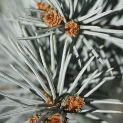 Close up of colorado blue spruce needles.
