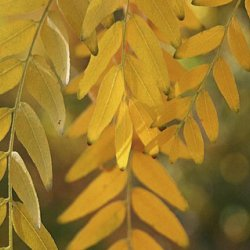 Closeup of honeylocust leaves.