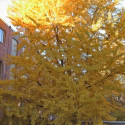 Ginkgo tree's brilliant yellow leaves.
