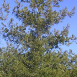 photo of eastern white pine in the summer.