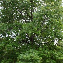 Swamp White Oak tree.