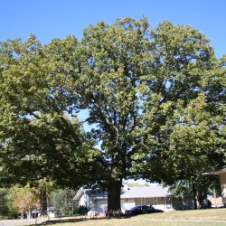 White oak provides wonderful shade for this rural home.